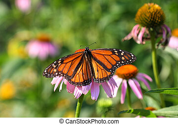 Monarch Butterfly Danaus plexippus on purple coneflower