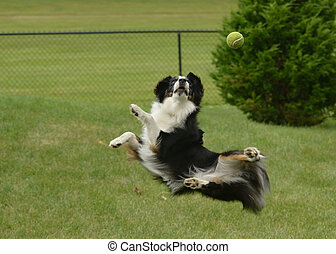 Australian Shepherd (Aussie) Dog Catching a Ball - Black...