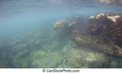 Green Sea Turtle 03