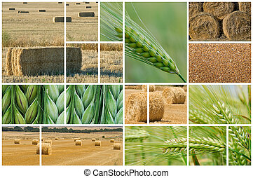 Barley and wheat - Collage made of photos about agriculture...