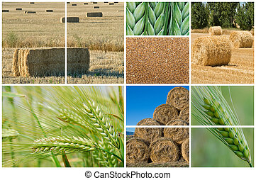 Wheat and barley - Collage made of photos about agriculture...