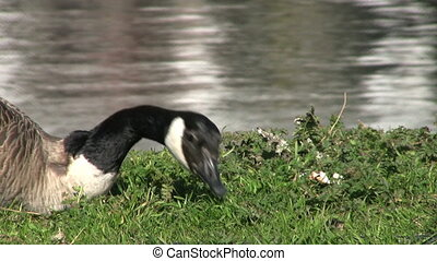 Canada Goose Eating Grass Close Up - A close up of a Canada...