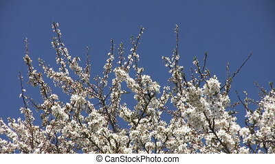 Bees On Cherry Blossoms - Bees fly from blossom to blossom...
