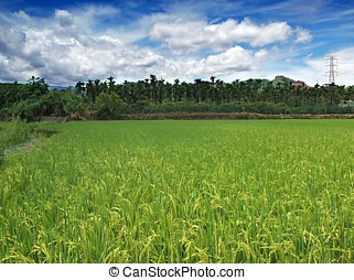 Lush Rice Field with Palm Trees