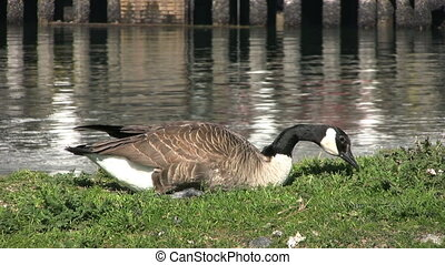 Canada Goose Eating Grass - A lone Canada Goose eating grass...