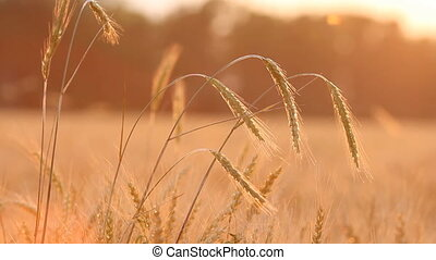 Wheat on breeze background
