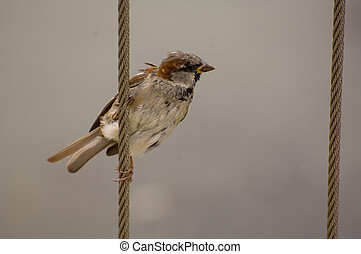 Sparrow - Passer domesticus, House Sparrow, Old World...