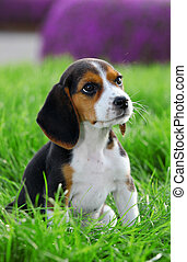 pedigree beagle puppy playing outside in the grass -...