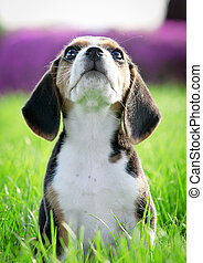 beautiful thoroughbred beagle puppy on grass focus on...