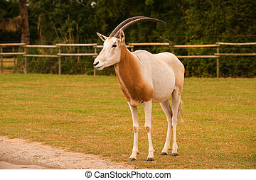 Sabeloryx - A Single Scimitar Horned Oryx in captivity
