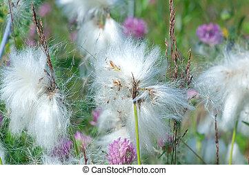 cotton grass.Shallow depth-of-field. moss crop (Eriophorum)