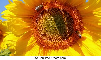bee pollination on sunflower
