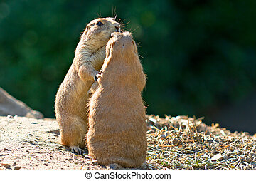 Dancing Prairie dogs - Two Prairie dogs standing together,...