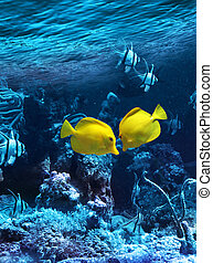 Two yellow tropical fishes meet in blue coral reef sea water...
