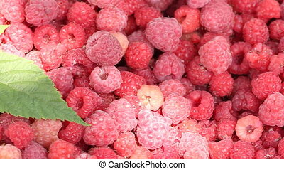 Lot of raspberries with green leaf panning background