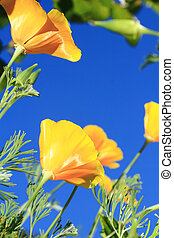 california poppy flower - close up of california poppy...