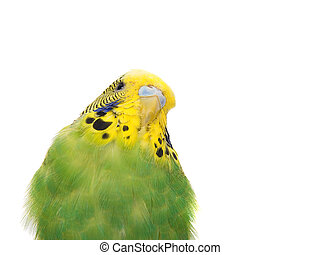budgerigar on white background