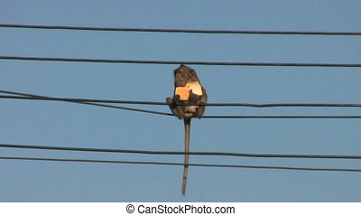 Monkey Eating Bread On A Power Line