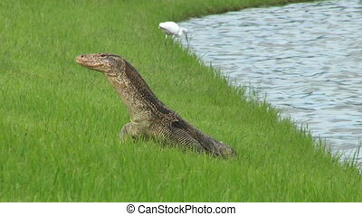Monitor Lizard Heads To The Water - A large Monitor Lizard...