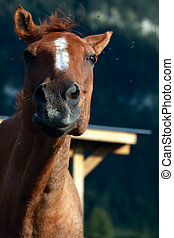 funny horse - horse shaking his head trying to get rid of...