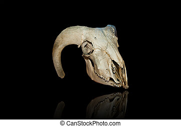 urus skull - image of urus skull isolated on black