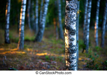 Birch trees - Stems of birch trees at sunset