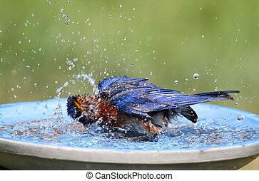 Eastern Bluebird Beating The Heat - Eastern Bluebird Sialia...