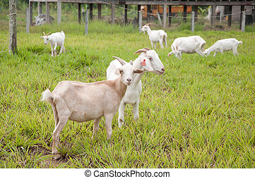 goat farm - a picture of a beautiful goat farm in country