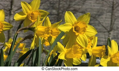 Pretty Yellow Flowers - Pretty Yellow Daffodils Blowing In...