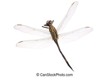 dragonfly isolated in white