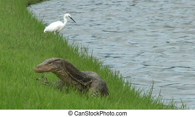 Monitor Lizard And White Bird - A large Monitor lizard...
