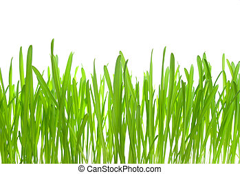 Fresh spring grass on white isolated background, macro