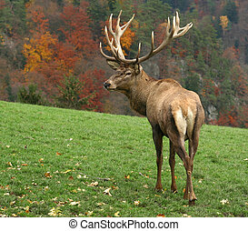 majestic deer - majestic deer on autumn background