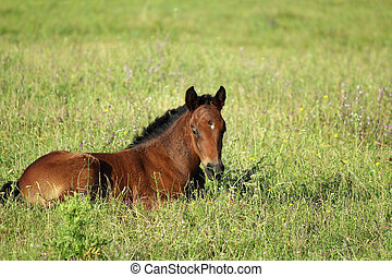 foal in summer pasture