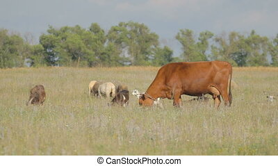 Grazing cow, goats and sheep on gre - Brown cow nibbling the...