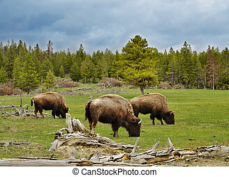 mountain valley with bisons and forest - Mountain landscape...