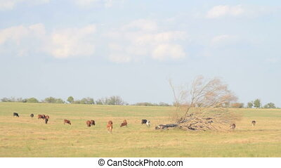 4 IN 1 EDIT Pasture with grazing cows - 4 IN 1 EDIT Herd of...