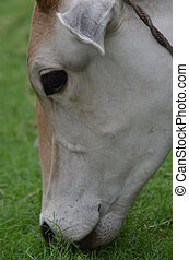 Nandi Portrait - A close up picture of a cow