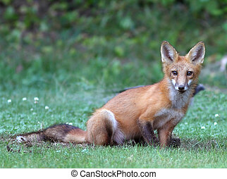 Young fox digging hole after a chipmunk