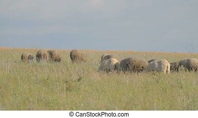Grazing flock of sheep in green mea