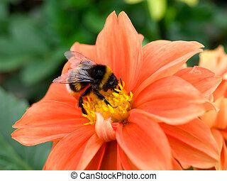 Bumblebee on a red flower.