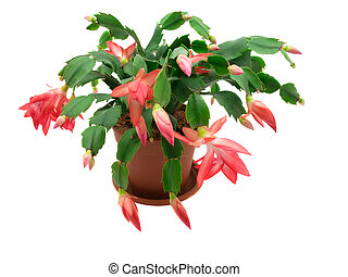 Christmas cactus on a white background