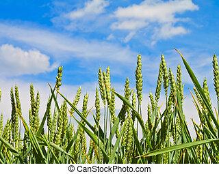wheat harvest on blue sky