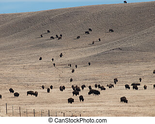 Buffalo grasing on ranch in Wyoming