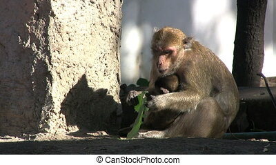 Monkey Eating Green Leaf