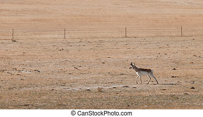 Pronghorn grazing on open plains of Fort Collins, Colorado