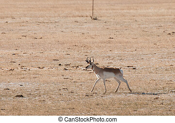 Pronghorn grazing on open plains of Fort Collins, Colorado.