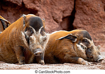 Red River Hog, Potamochoerus porcus pictus - Several...