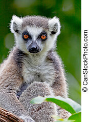 Lemur of ring-shaped tail ,Lemur catta - Beautiful specimen...