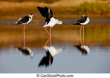 Black-Winged Stilt - Three black-winged Stilt taking a break...